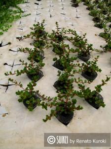Cultivo de Rotala indica