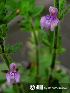 Flor da Hygrophila pinnatifida