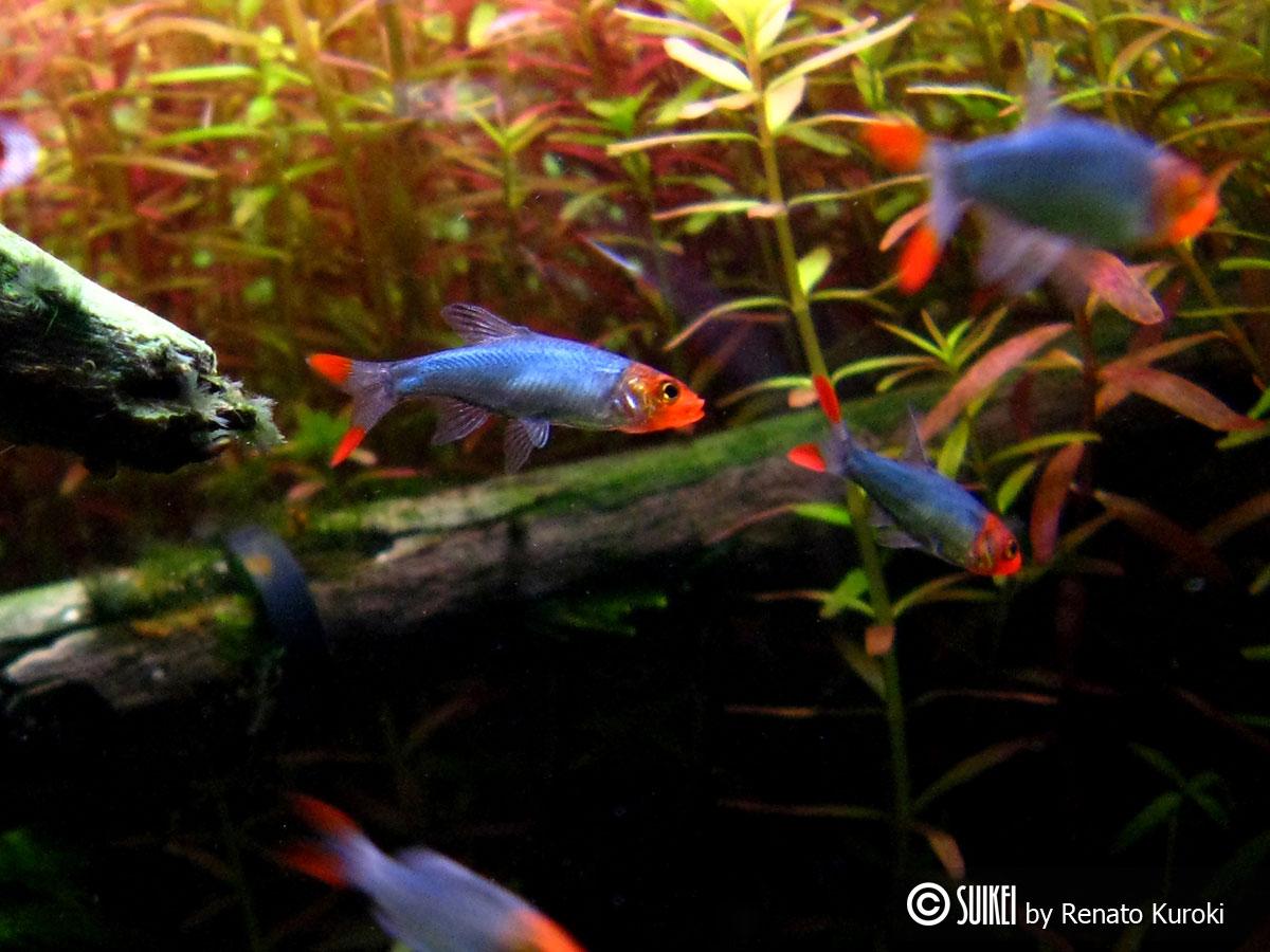 Freshwater aquarium fish rasbora -